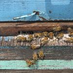 Griechische Honigbienen